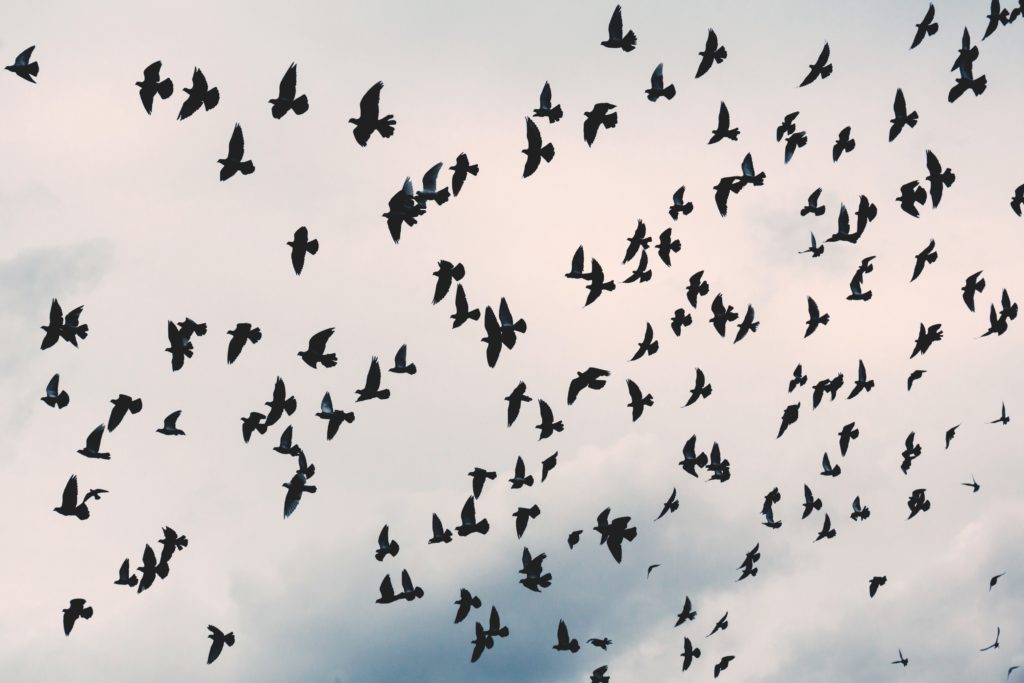 Flock of birds inflight